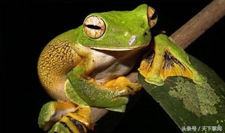 """世界十大最奇特青蛙 有人竟作为宠物"""""""