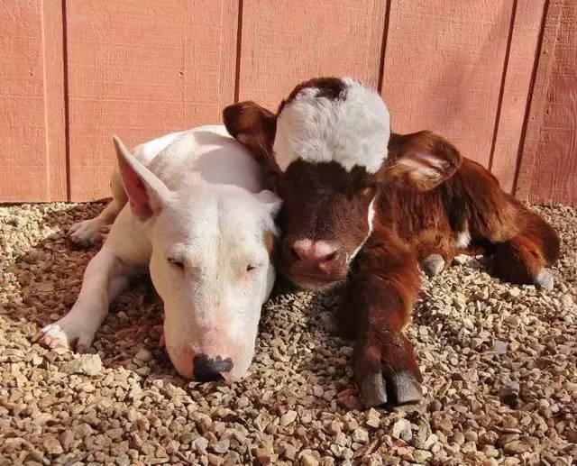 可爱 近朱者赤,和狗狗待得时间太长的牛,长的越来越像狗狗了~