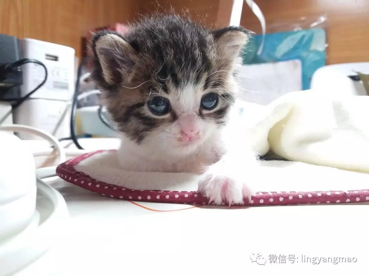 猫咪得了细小。