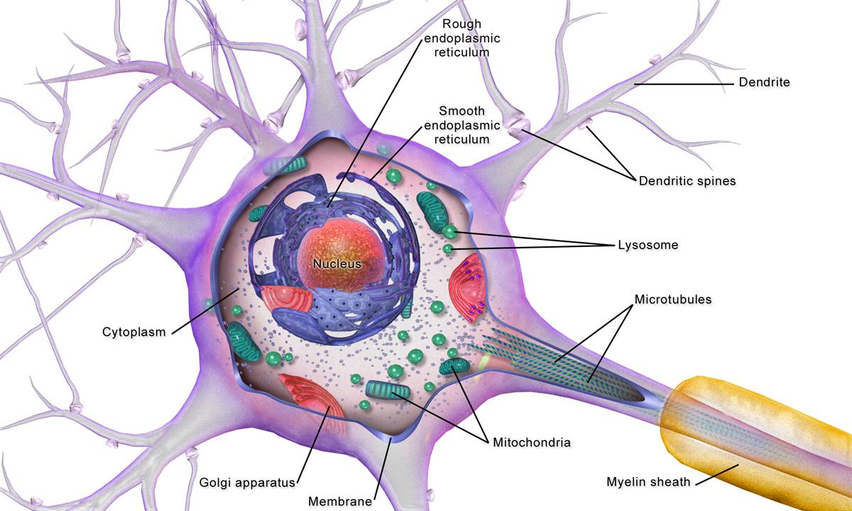 神经细胞图片手绘