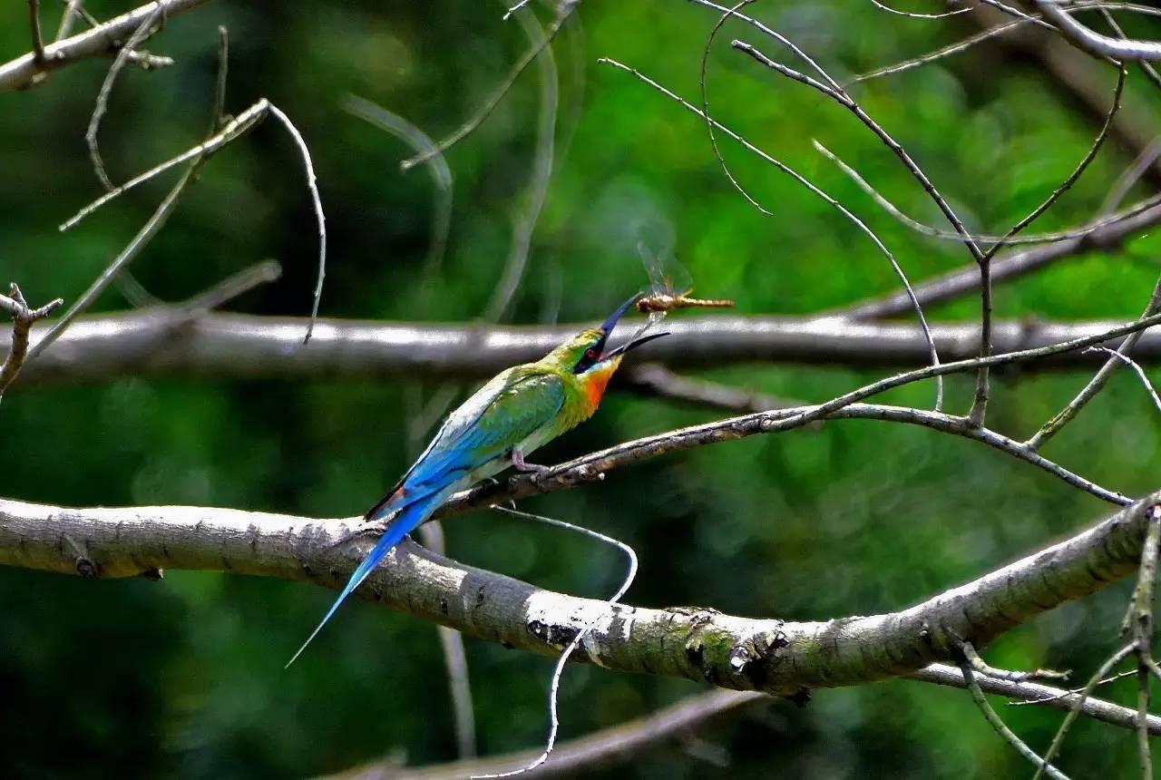 """厦门又现""""中国最美丽的鸟"""",一次还来了80多只!它们就在……"""