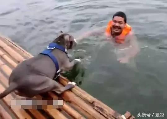 家里两只狗狗超级怕水,每次主人跳到河里游泳就