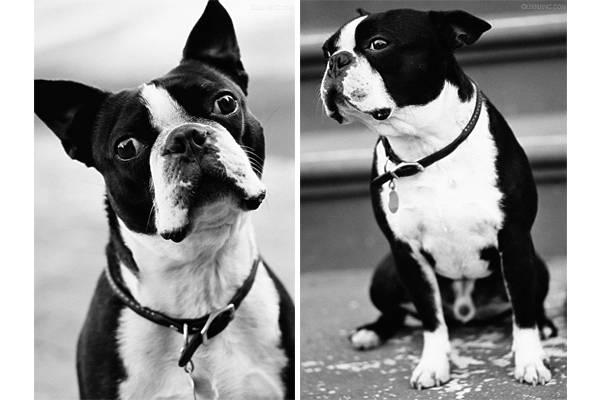 法国斗牛犬 波士顿梗_波士顿梗_波士顿梗犬 多少钱