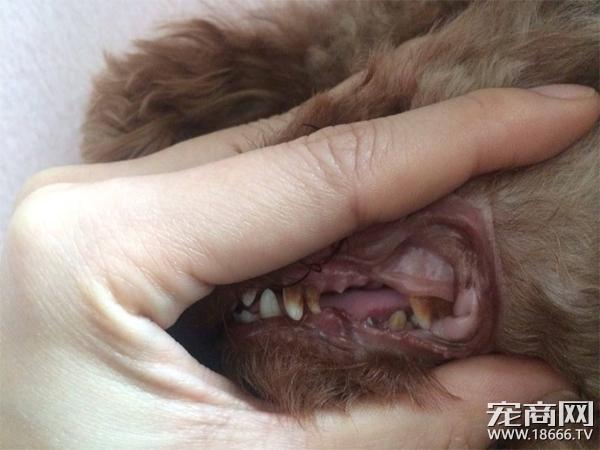狗狗也需要洗牙?狗狗得了牙结石怎么办?看完就懂