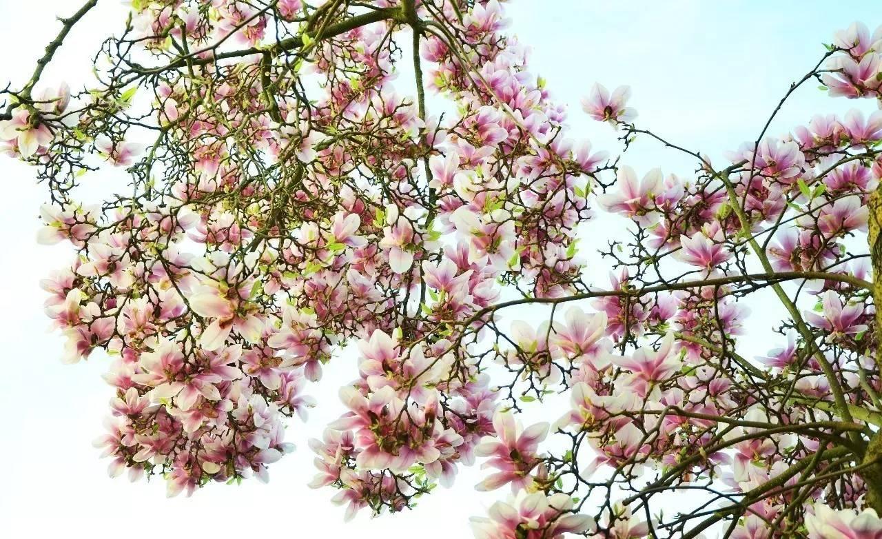 广东用苦草麦药或凤仙,白玉兰等花草; 湖南,广西等地, 则用柏叶,大风图片