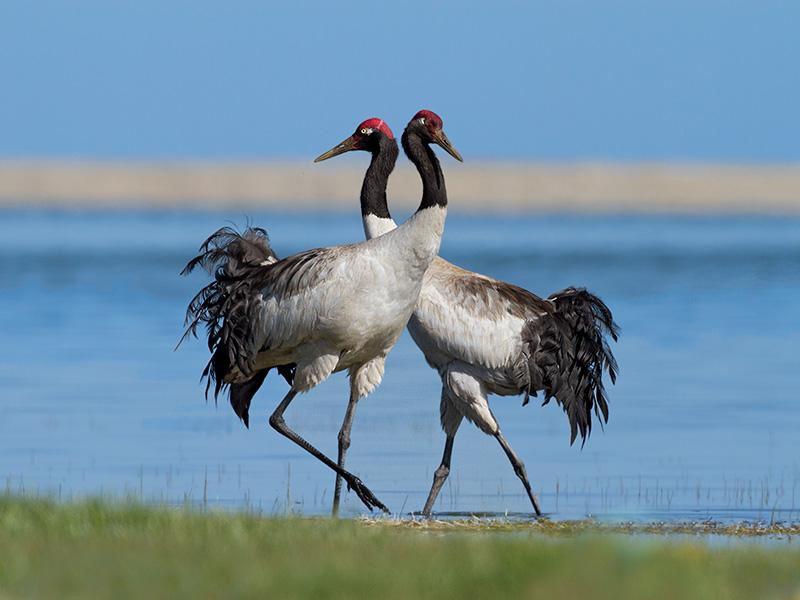 宗教人文丨飞越珠穆朗玛的高原精灵——黑颈鹤