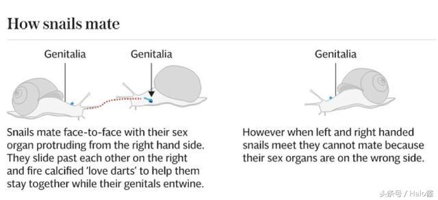一只左撇子蜗牛的坎坷情路,科学家曾帮它全球征婚
