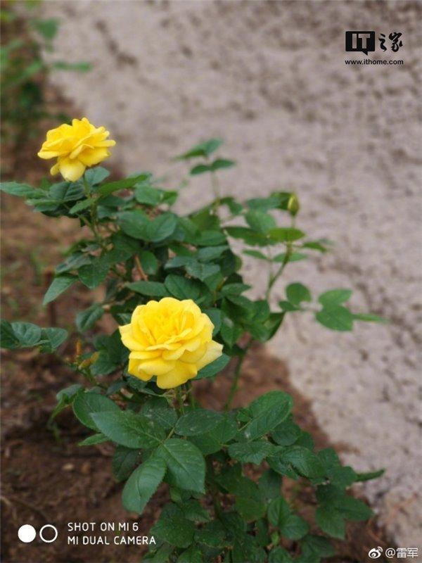雷军端午晒小米6拍照,错把黄玫瑰当月季后强行科普