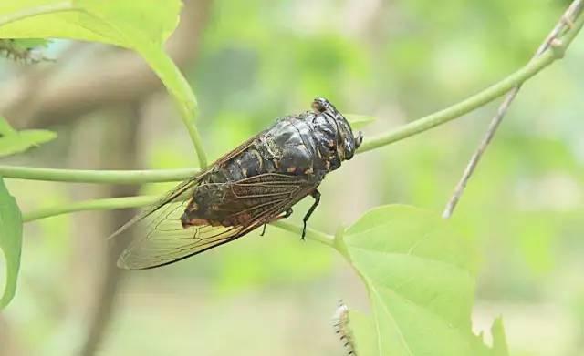 成语故事|蝉的叫声为什么那么洪亮?—《螳螂捕蝉黄雀在后》