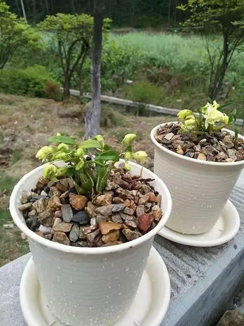 夏日在家种石斛盆栽,这些是你最想问的…