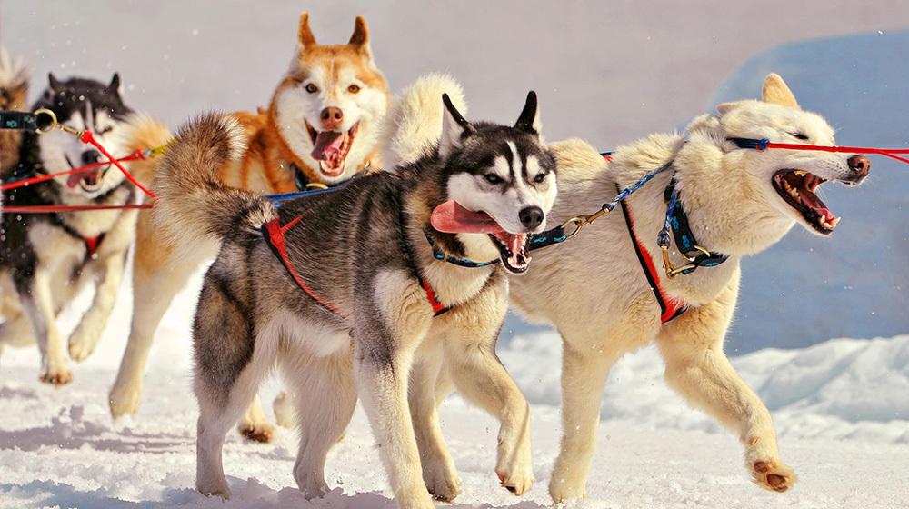 不同品种狗狗性格大揭秘