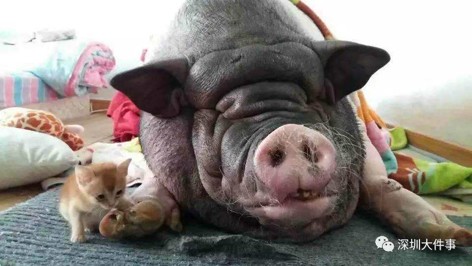 两只猪睡觉-深圳姑娘买 宠物猪 却长成300斤大肥猪 同吃同睡8年 被深