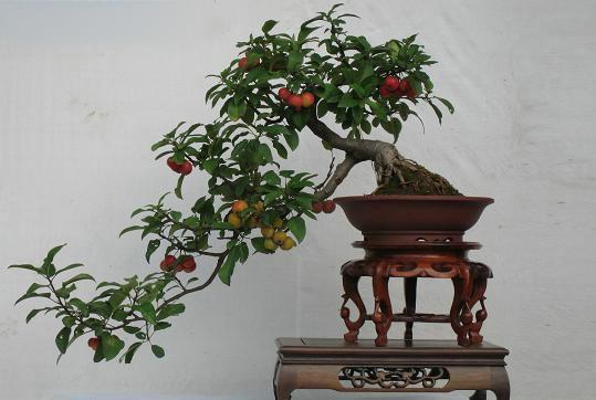 48例盆景树种,总有属于你的那棵 - 冬日暖陽 - 缘来如此心动
