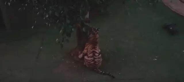 外国土豪在家养了三只老虎 赚足了眼球