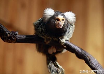 绒猴,是猴类中的侏儒,它是世界上最小的猴子.真正使绒猴名声大噪