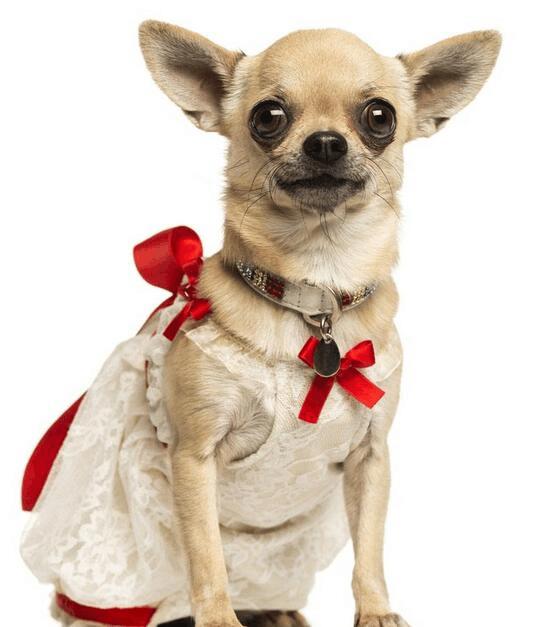 """广东""""最幸福狗狗"""",一只吉娃娃撩到了一票小迷妹"""