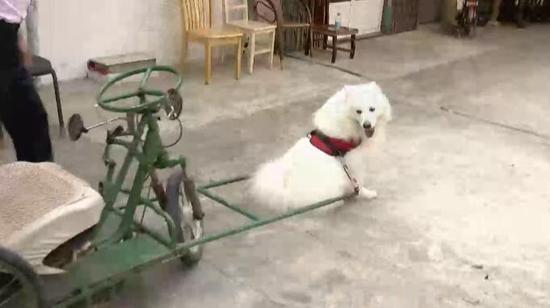 """宠物店老板训练萨摩耶大发888在线 马路上演""""狗拉车""""(组图"""
