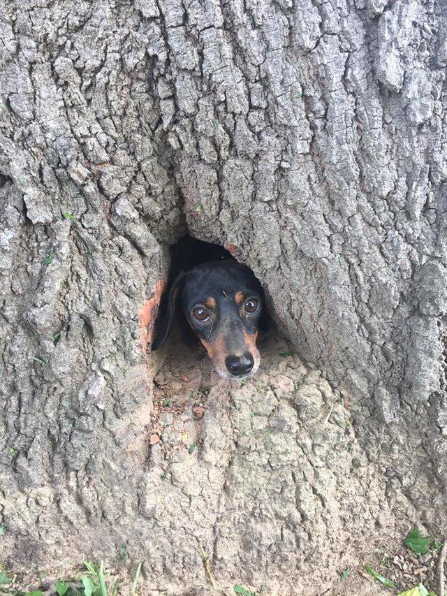 腊肠犬追撵土拨鼠,结果卡在树洞里…宠物时间app