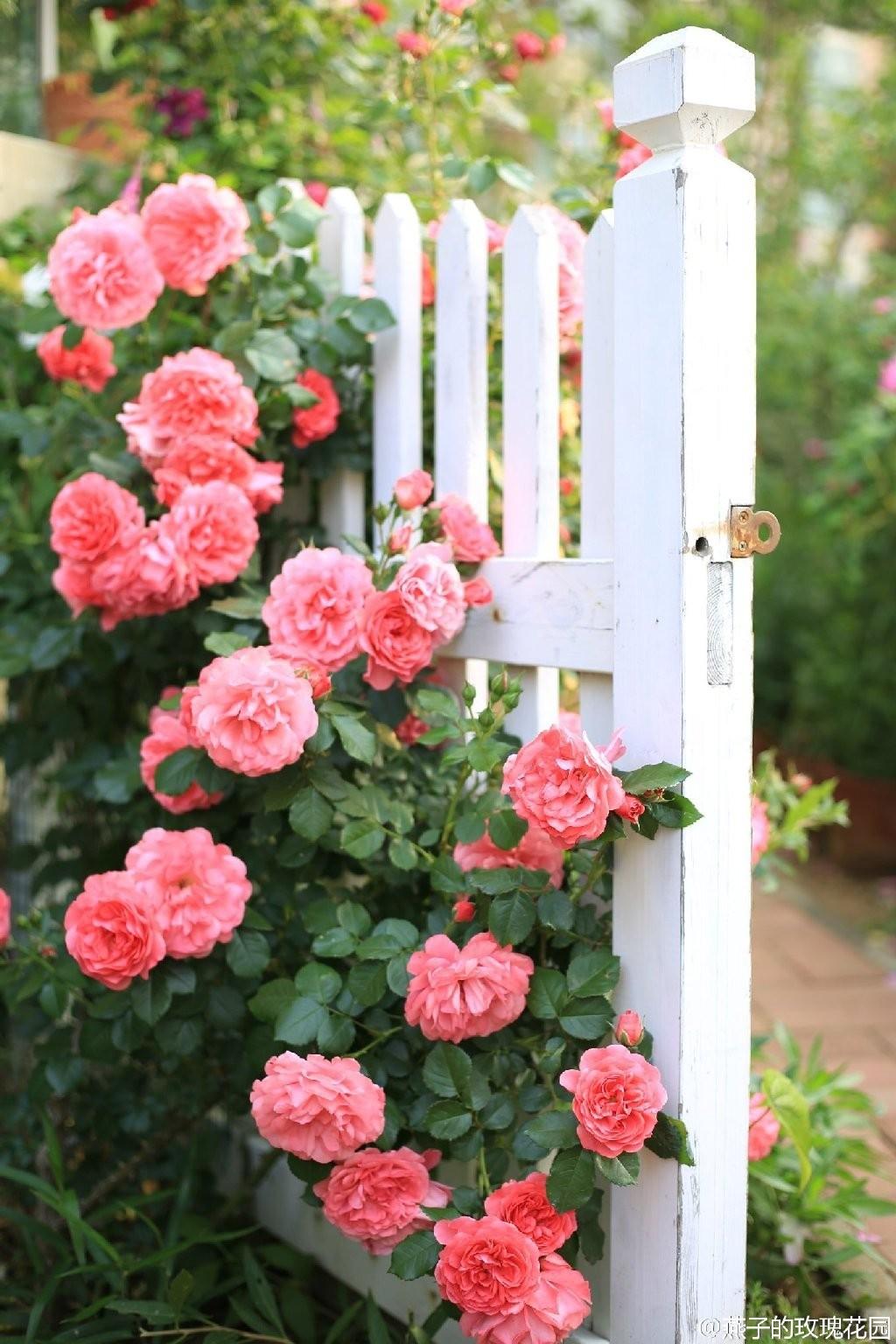 9年,她在海边打造了一片玫瑰王国!每个路过的人,都想去她的花园坐坐