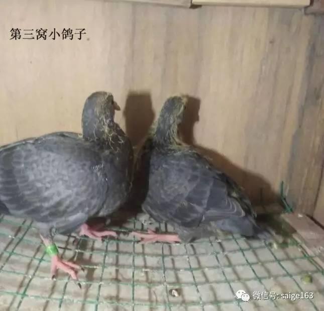 鸽子鸽蚂蚁鸡鸟流量645_619鸟类宝卡兑换无法动物图片
