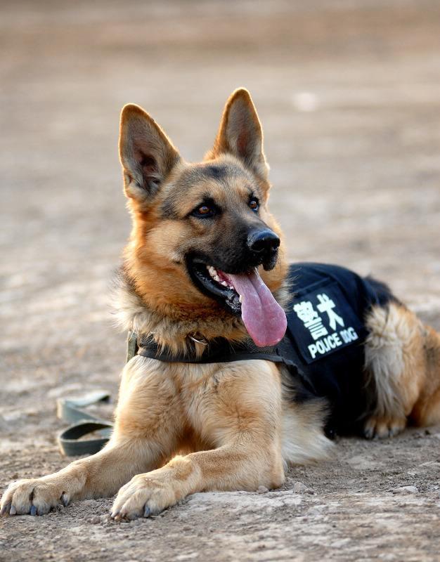 五种没办法加入警队的狗狗,连金毛也被拒?