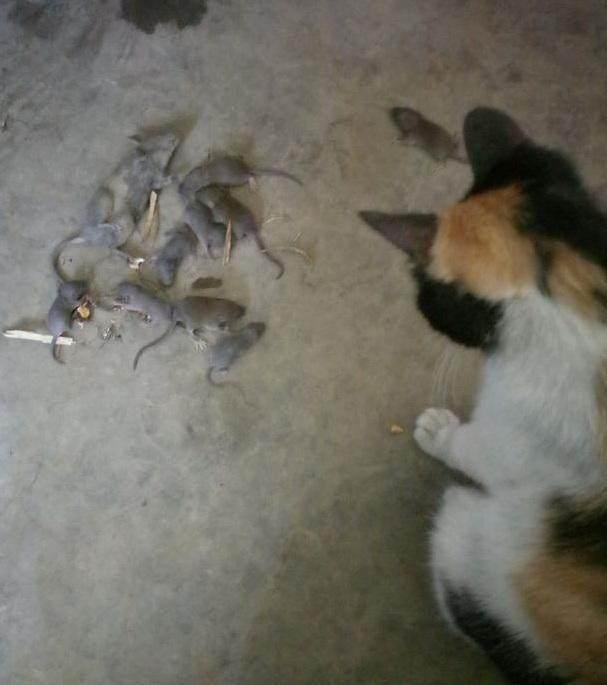 流浪猫被收养,第二天就抓了一堆老鼠报恩!