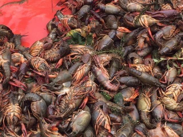 小龙虾放鱼缸里能养活吗_家里的养鱼池能养虾吗_鱼缸养小龙虾会繁殖吗