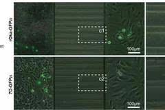 水痘-带状疱疹病毒嗜神经因子ORF7的功能鉴定研究获进展