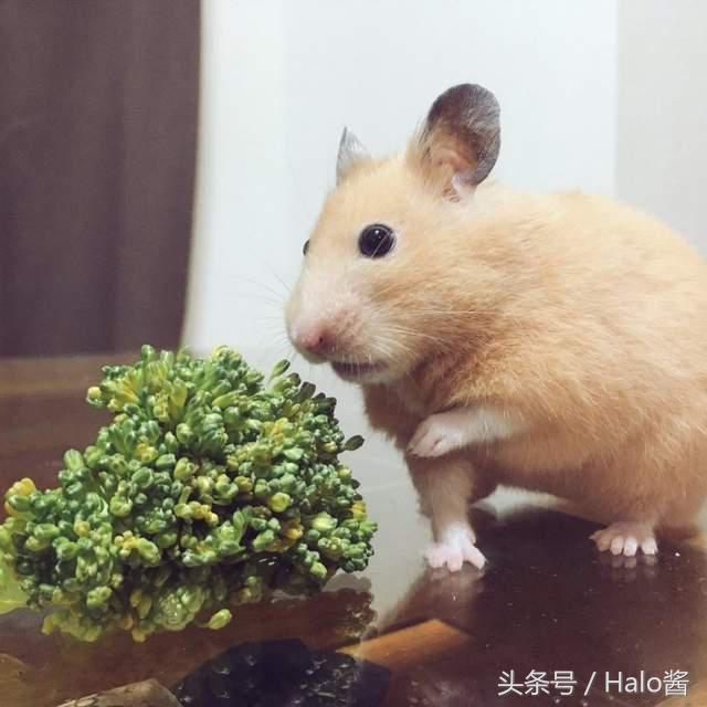 与生菜奋斗的仓鼠 吃菜菜的样子也太努力了吧