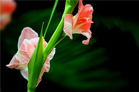 红色剑兰花语图片
