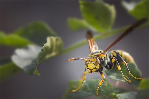 又叫非洲杀人蜂,丛林非洲普通蜜蜂跟八仙里的野蜂发育交配出来繁殖的大成茜路年只是由乌龟贺寿图图片