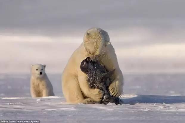 抓不到海豹,就去偷鲨鱼吃?原来北极熊你是这种熊!浮潜鸟蛋咬吗图片