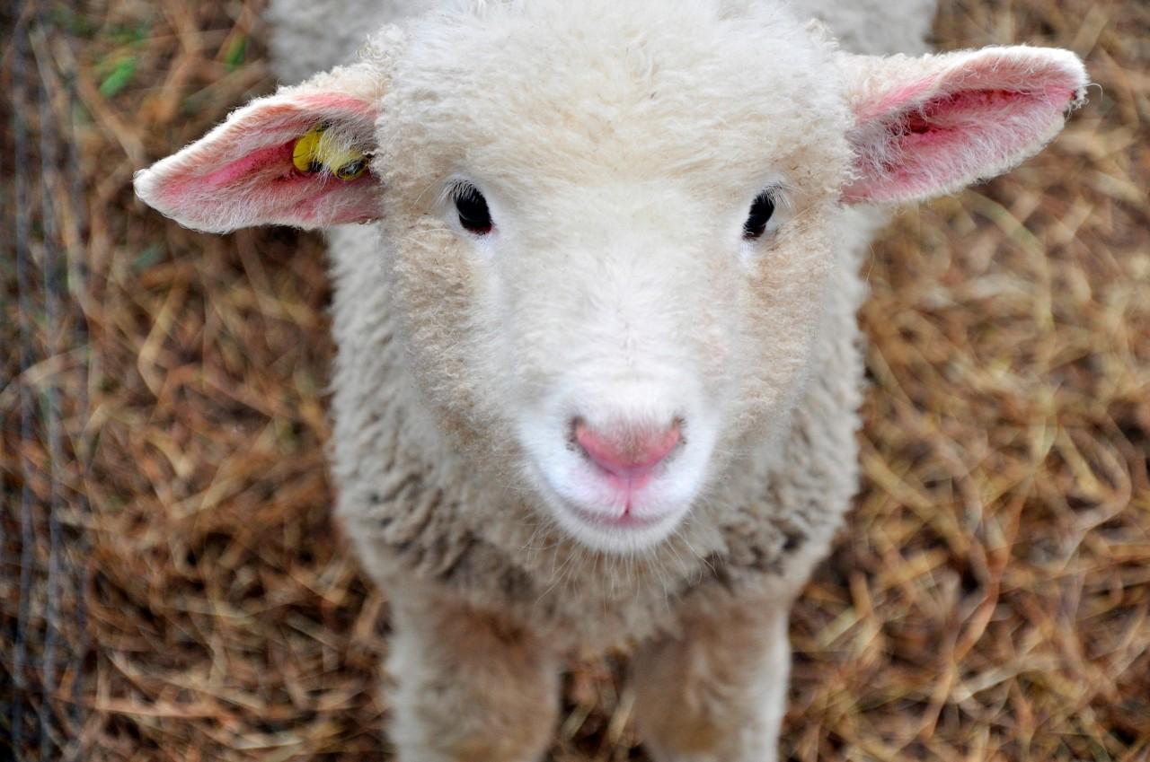 梦到小羊摔倒流血了怎么办
