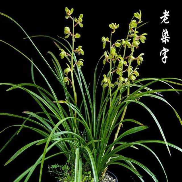 夏天花卉系列推荐:蕙兰铭品老八种