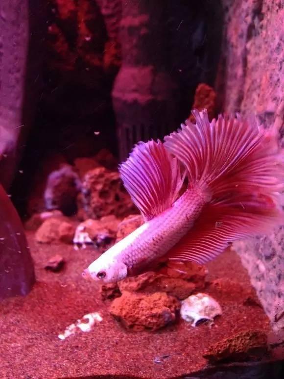 不知道养什么 突然觉得红白的斗鱼很应景 就买了图片