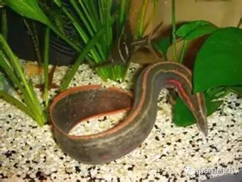 另类观赏鱼 刺鳅 Mastacembelus aculeatus图片