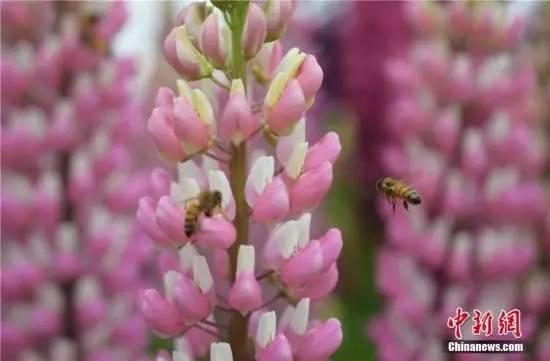 鲁冰花的引来,也盛开小仓鼠蜜蜂采花蜜我怕争相咬我图片