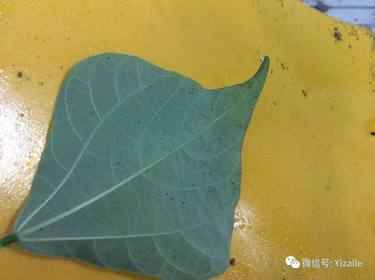 一问一答 驱赶蚂蚁老鼠 米苋长白斑点 生姜卷叶 丝瓜流脓 芦荟有什么用