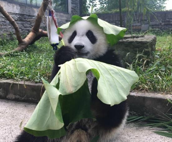 熊猫头顶着荷叶,荷叶掏了两个洞洞套在耳朵上,看起来调皮可爱,萌翻了