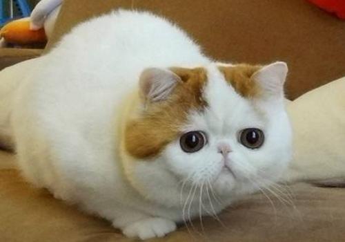 吃什么对加菲猫最好图片