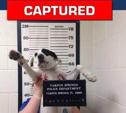 美国一狗狗偷吃东西被抓,拍照盖印建档一样不少