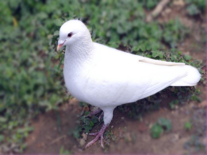 吃鹌鹑鸽子谁营养高图片2