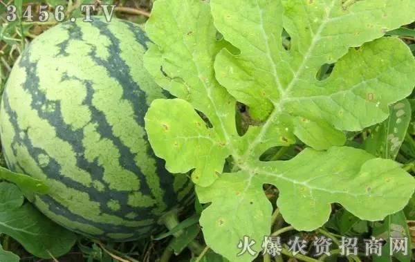 西瓜缺哪种肥,看叶就知道 真的好奇妙