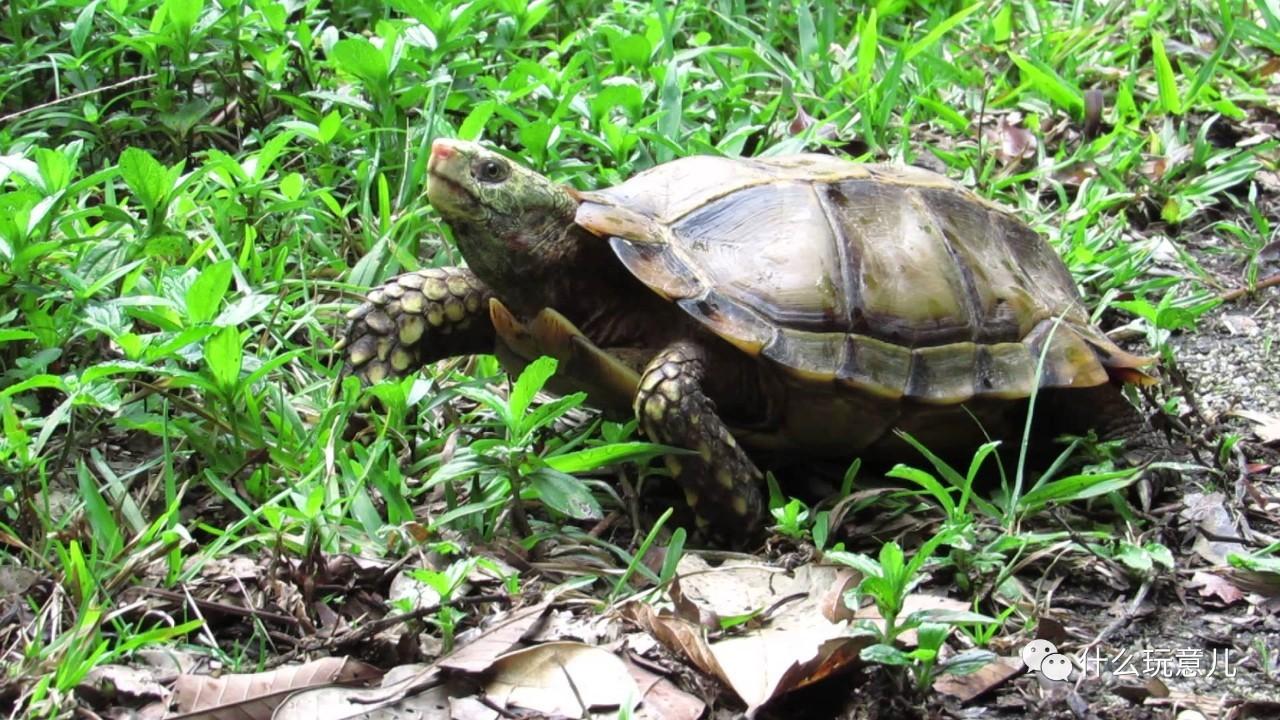 凹甲陆龟:长着三条尾巴的龟,比熊猫还珍贵?!终... _网易视频