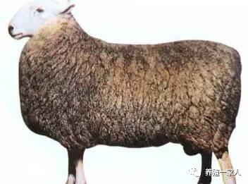 羊品种大全 很多品种你肯定不认识