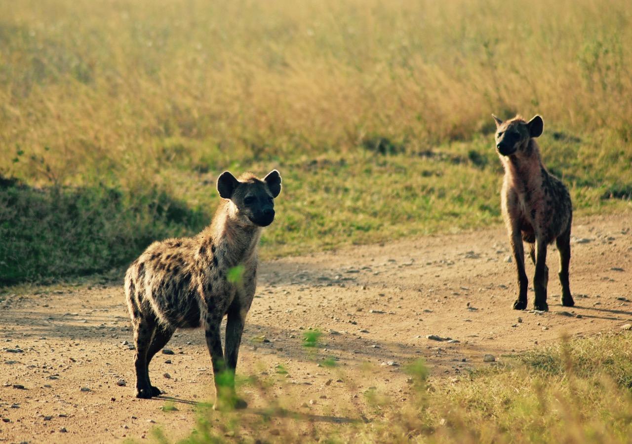 非洲鬣狗故事,顺便聊聊中西方女孩差异