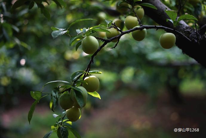 """江南6月,不可错过的三种""""最南味儿""""的水果"""