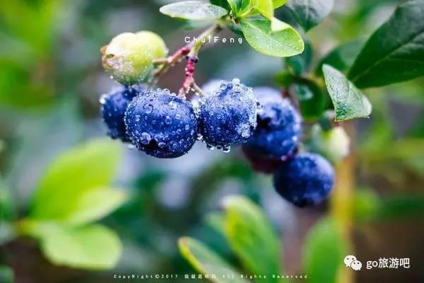 蓝莓熟了,等你来摘,免费让你吃个够--文尾有福利