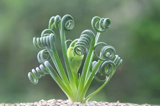 和�z�_这类植物大概有60多个种,物种多样性集中在南非和纳米比亚,在北非和