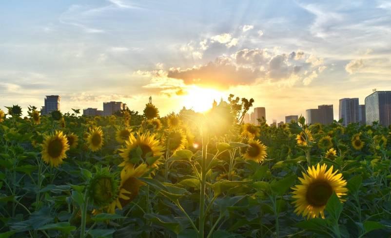 美翻了!福州80万株向日葵绚烂盛开,约不?
